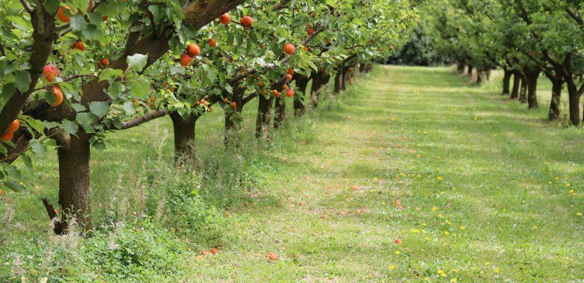 pestovanie marhule