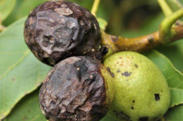 prečo sú orechy čierne